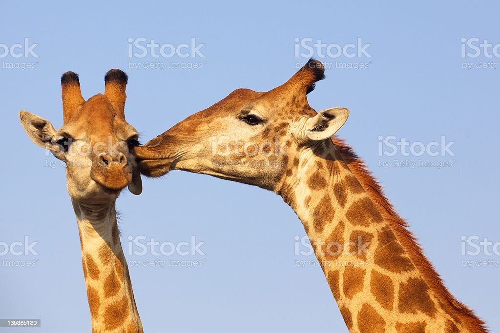 Giraffe Kiss royalty-free stock photo