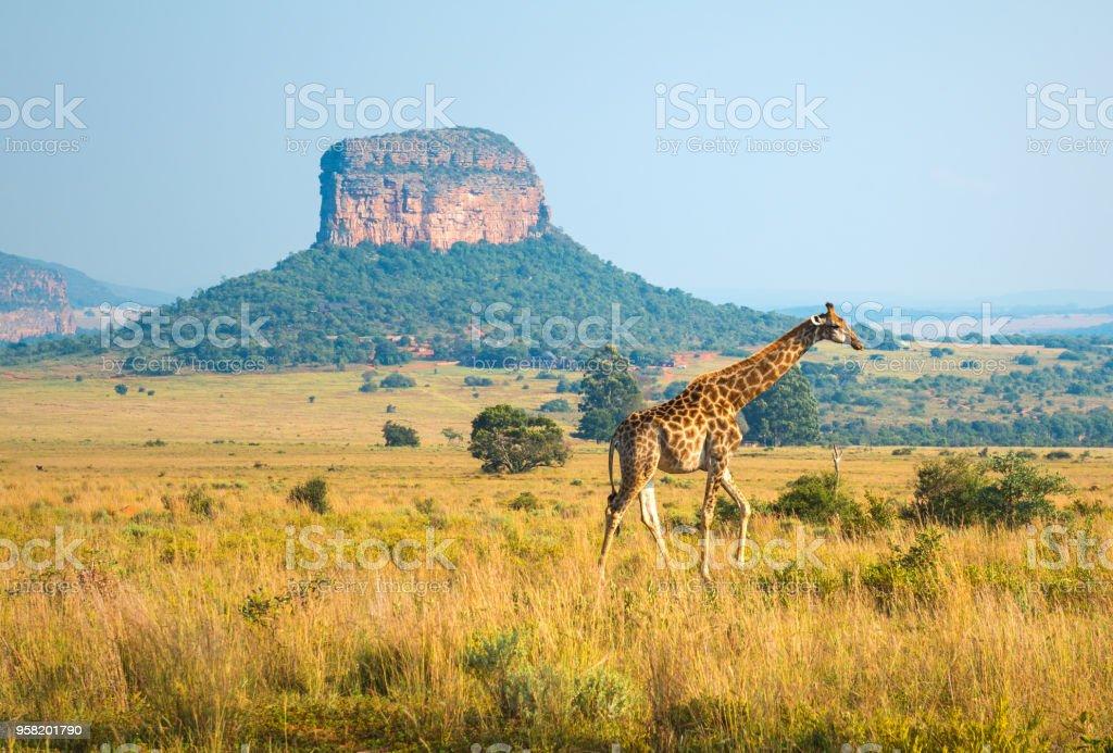 長頸鹿風景在南非 - 免版稅乾旱氣候圖庫照片