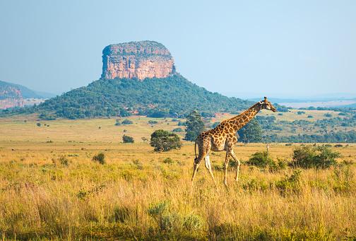 長頸鹿風景在南非 照片檔及更多 乾旱氣候 照片