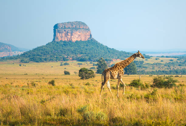 Giraffe Landscape in South Africa A giraffe walking in the african savannah of Entabeni Safari Wildlife Reserve with a butte geological rock formation in the background, Limpopo Province, South Africa. kruger national park stock pictures, royalty-free photos & images