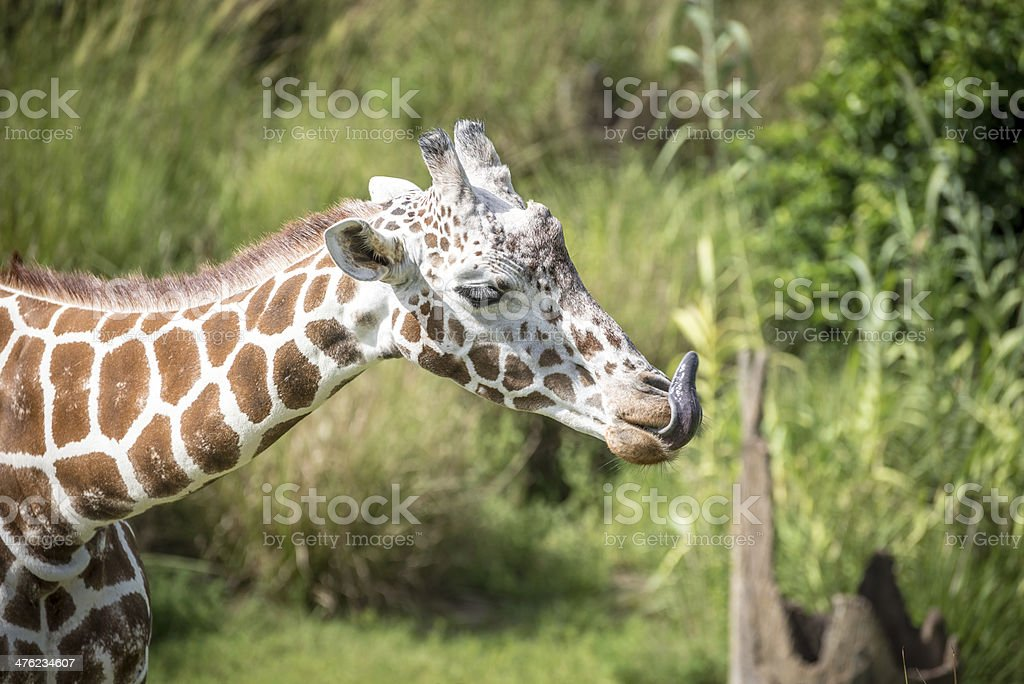Giraffe Licking Her Nose royalty-free stock photo