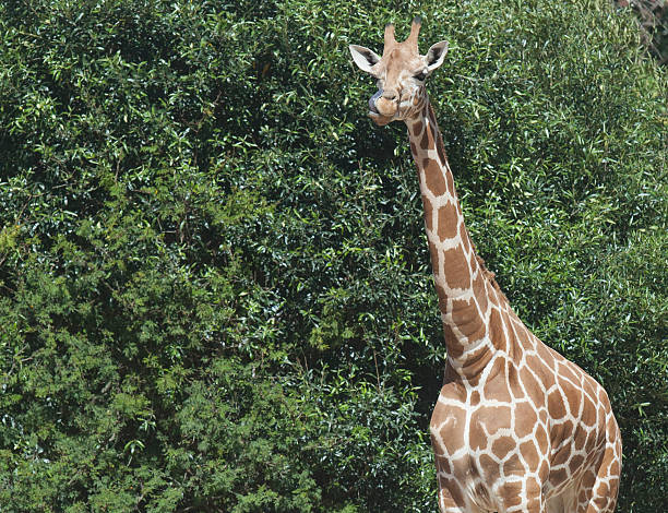 Giraffe licking its lips stock photo