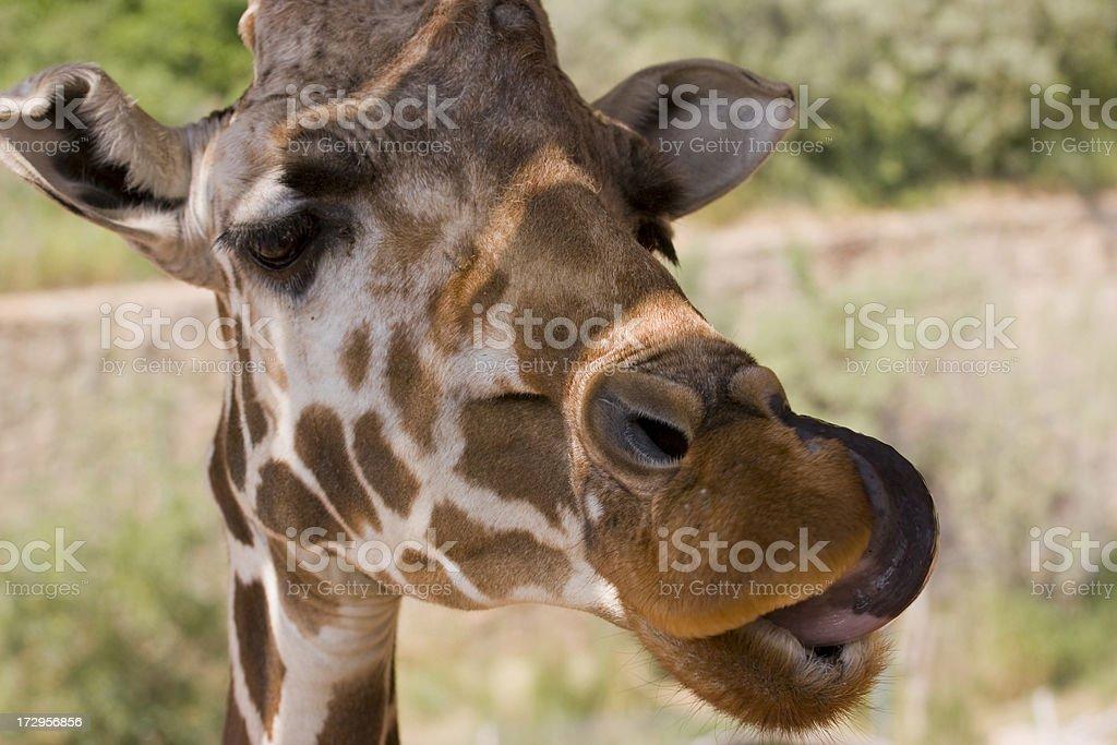 Giraffe Licking Nose royalty-free stock photo