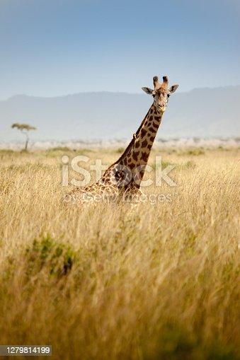 Giraffe looking at camera spotted in the safari at Masai mara, Kenya