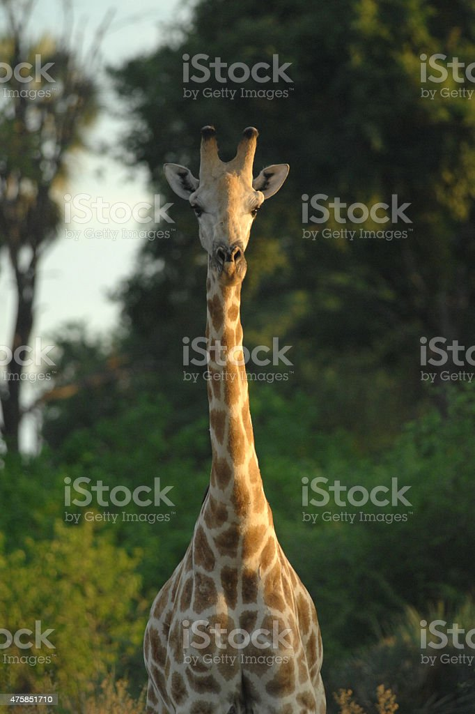 Giraffe looking at camera stock photo