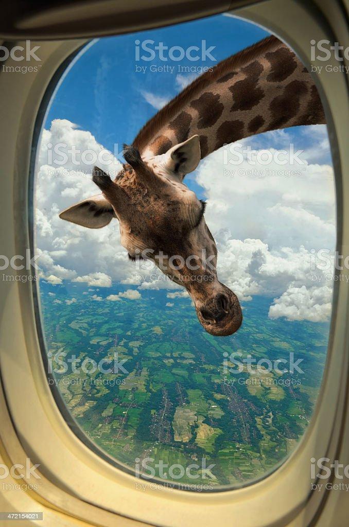 Girafe à la recherche dans la fenêtre de l'avion - Photo