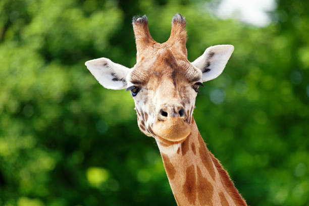 giraffe looking forward b - giraffe stock photos and pictures