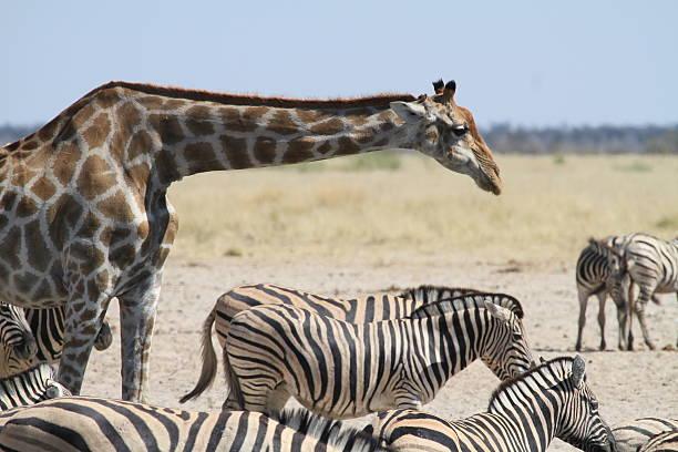 Giraffe looking over Zebra stock photo