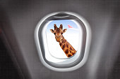 Comic portrait of giraffe looking through a plane's window during flight on high altitude