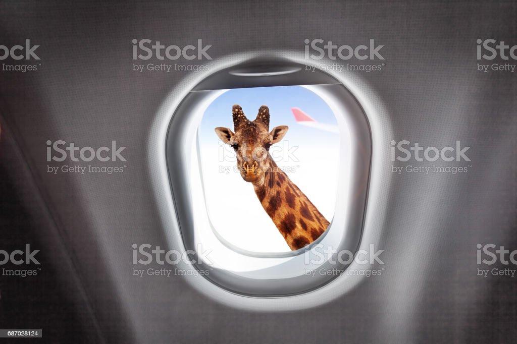 Girafe, regardant par la fenêtre de l'avion - Photo