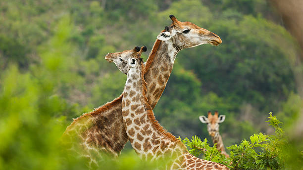 Giraffe Love Two giraffes giving each other a hug in Kruger. kruger national park stock pictures, royalty-free photos & images