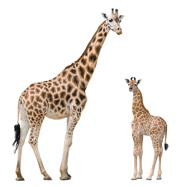 giraffe mother and baby - giraffe stock photos and pictures