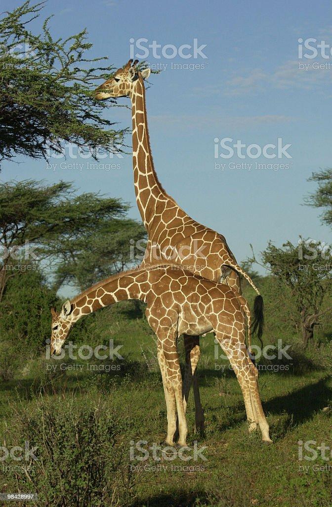 Giraffa madre e bambino foto stock royalty-free