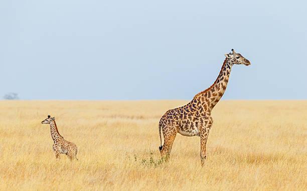 giraffe mother and calf, serengeti national park, tanzania africa - giraffe stock photos and pictures