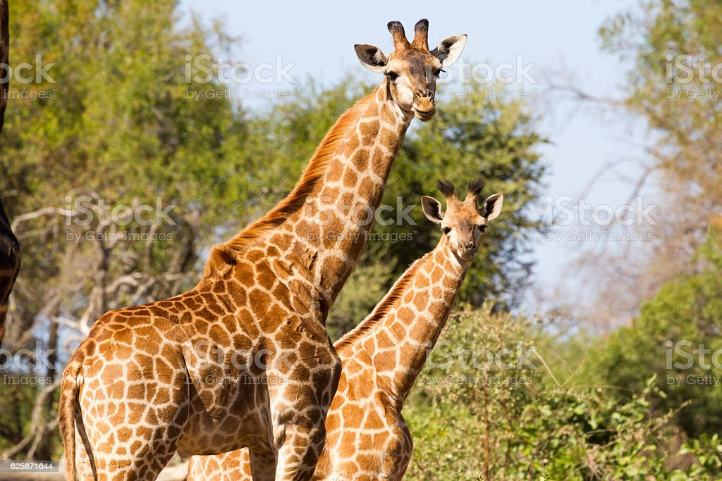 Giraffe Mother and Young stock photo