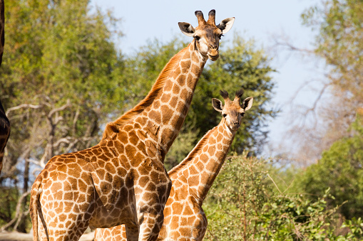 Giraffe Mother And Young Stock Photo - Download Image Now