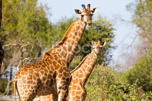 Giraffe Mother And Young Stock Photo & More Pictures of Africa