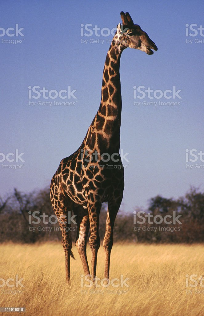 Giraffe, Namibia royalty-free stock photo