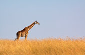 """Lone Masai giraffe against blue sky horizon aa Masai Mara, Kenya"""