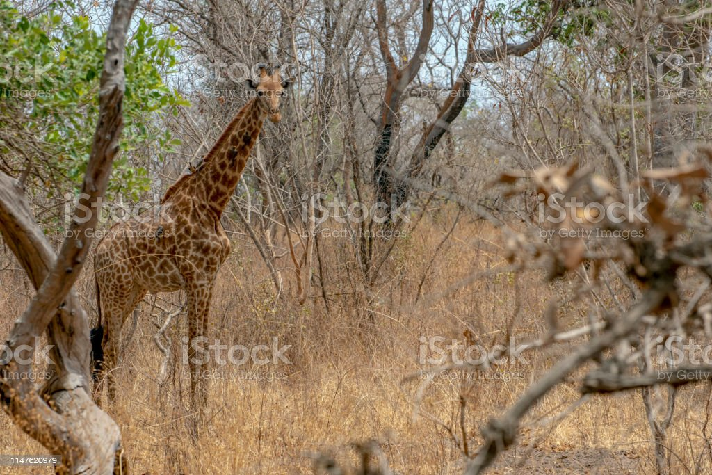 Giraffe on nature background, Natural environment..West Africa,...