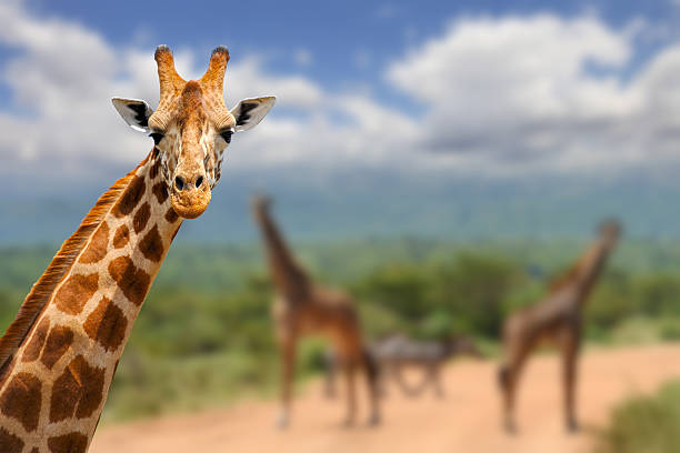 girafe sur savane en afrique - girafe photos et images de collection