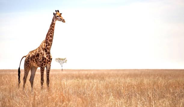 giraffe on savannah. - giraffe stock photos and pictures