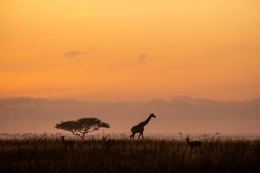 A giraffe on the horizon at sunrise in Kenya.