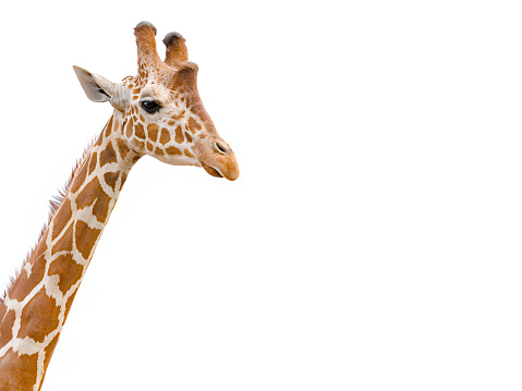 Giraffe head and neck isolated on white whith copy space