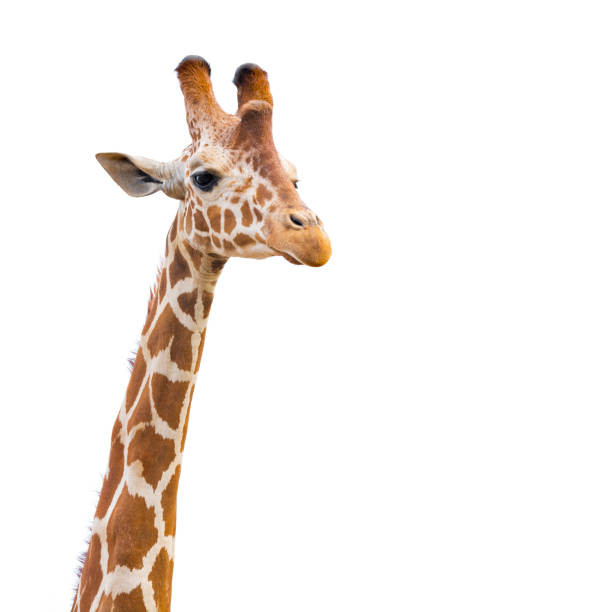 giraffe on white - animal markings stock photos and pictures