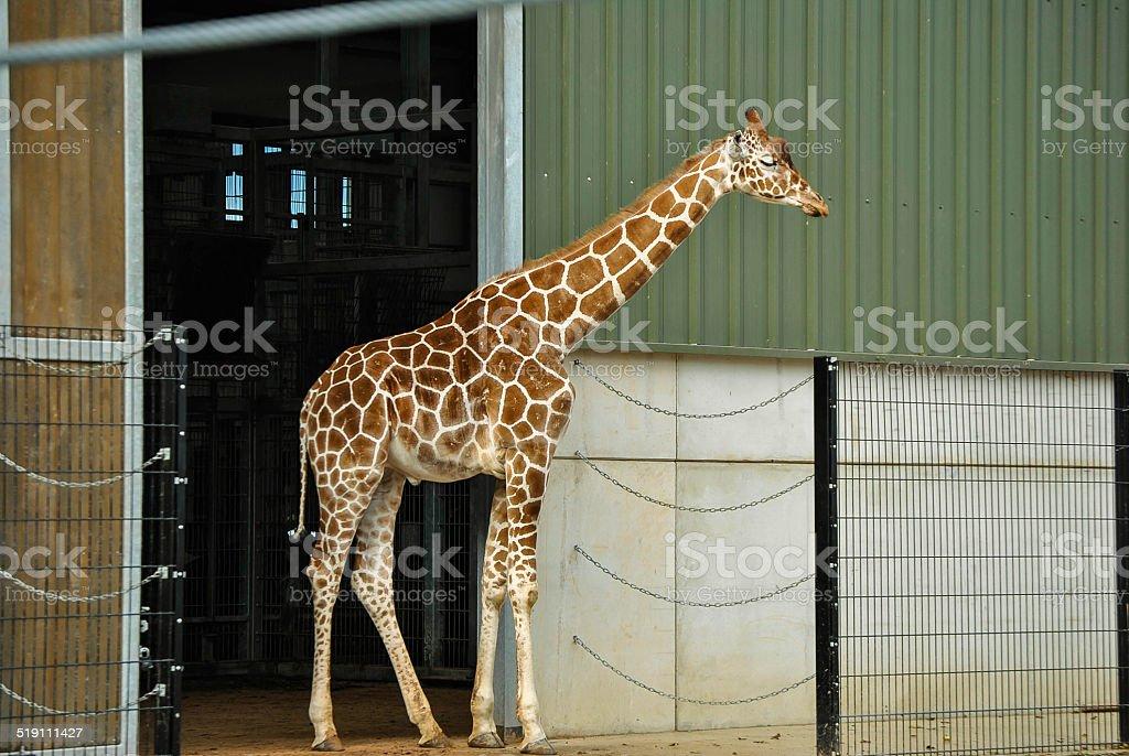 giraffe außerhalb giraffe house - Lizenzfrei Fotografie Stock-Foto