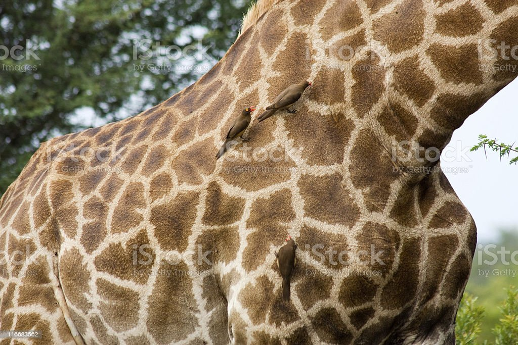 Giraffe Picked by Red-Billed Oxpeckers royalty-free stock photo