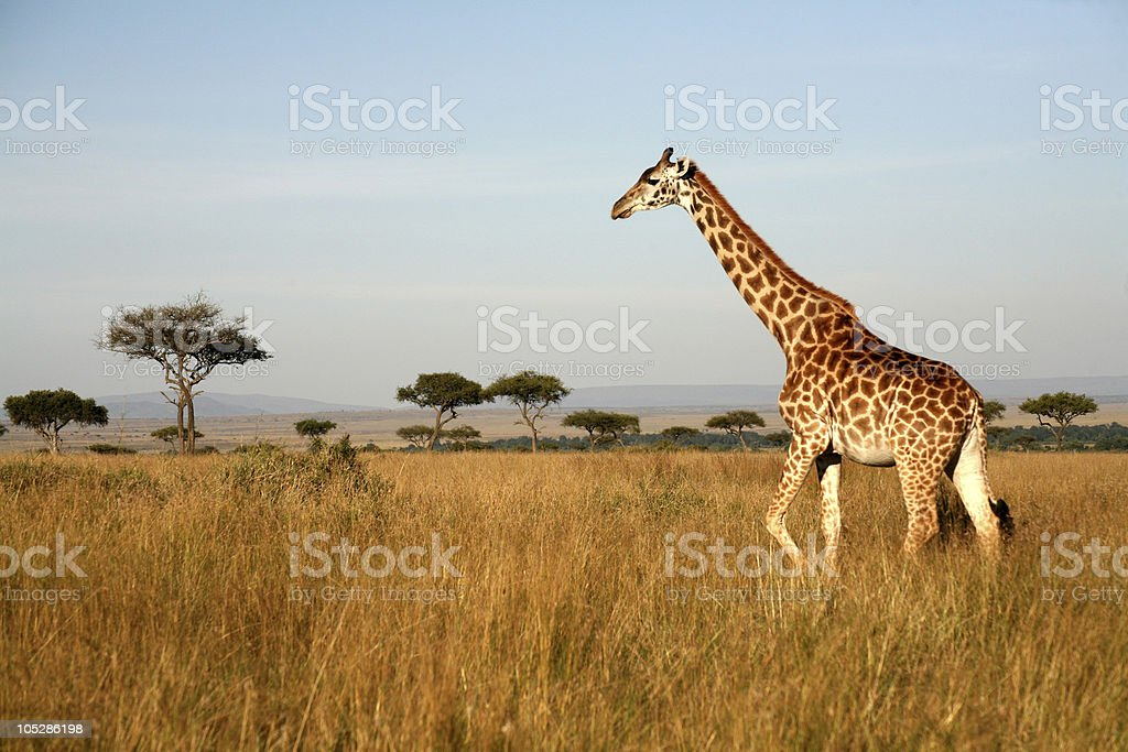 Giraffe (Kenya) stock photo