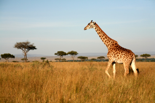 Giraffe Stock Photo - Download Image Now