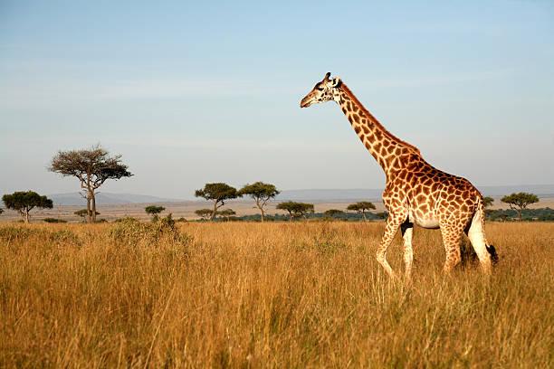 giraffe (kenya) - 平原 個照片及圖片檔