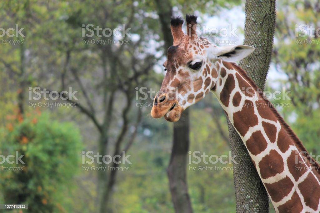 Giraffe Giraffe pictures were taken at the Nashville, TN Zoo Animal Stock Photo