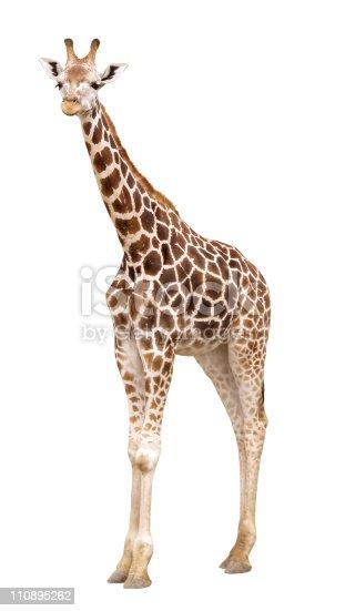 Girafe photos et plus d 39 images de faune istock - Dessin de girafe en couleur ...