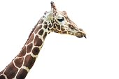 Cut out giraffe with tongue out