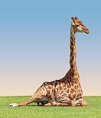 Giraffe lying ont the grass on the sky background