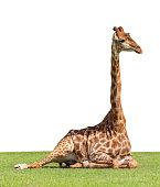 Giraffe lying ont the grass on the white background