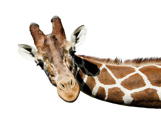 girafe portrait - girafe photos et images de collection