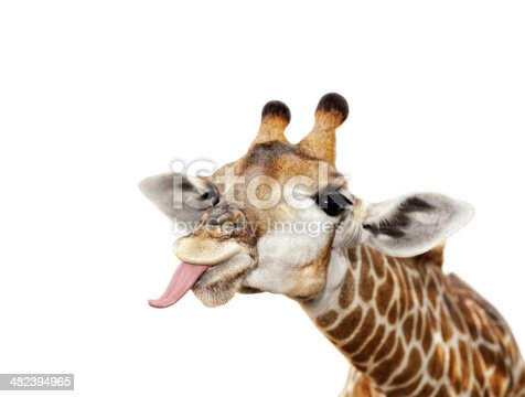 Giraffe Sticking Out Tongue Isolated Against White