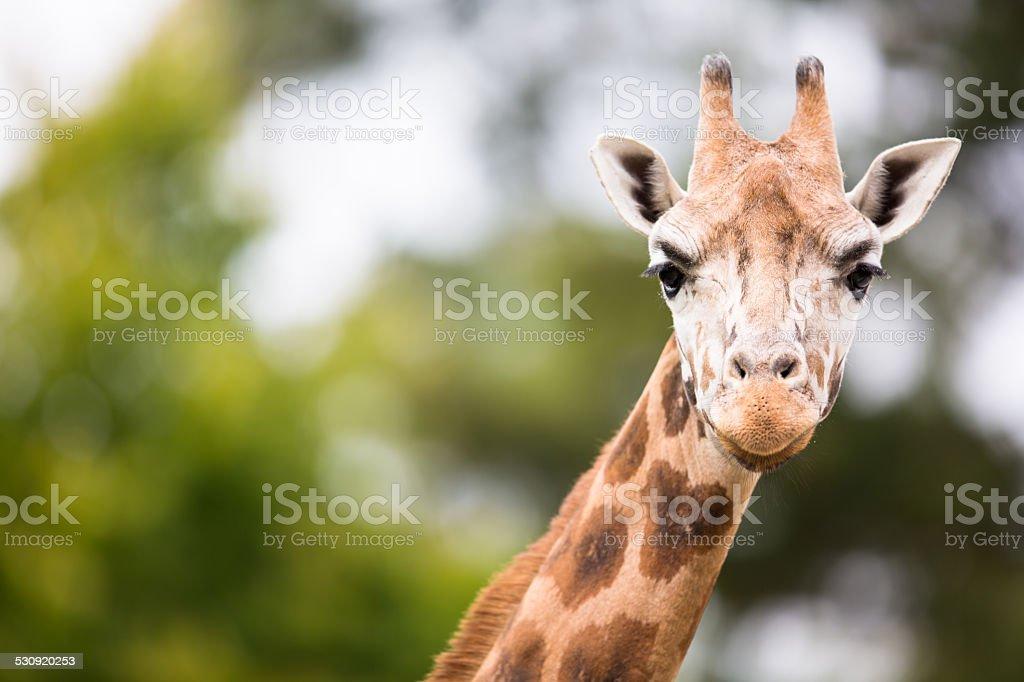 Jirafa (Giraffa camelopardalis) - foto de stock