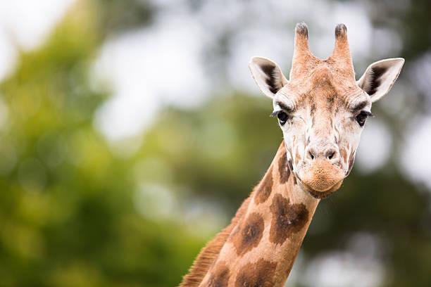 girafa (giraffa camelopardalids) - jardim zoológico imagens e fotografias de stock