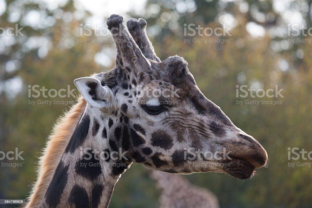 Giraffe (Giraffa camelopardalis) stock photo