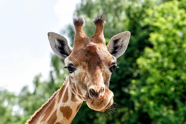 giraffe  - afrikanische steppe dürre stock-fotos und bilder