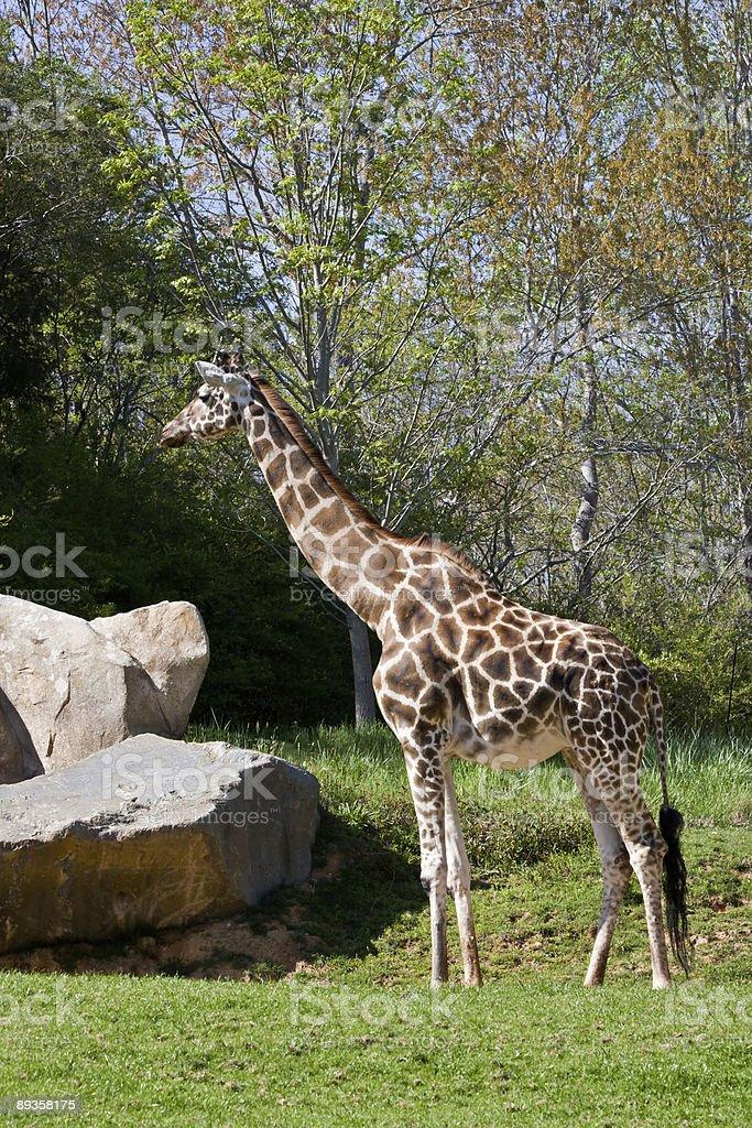 Giraffa foto stock royalty-free
