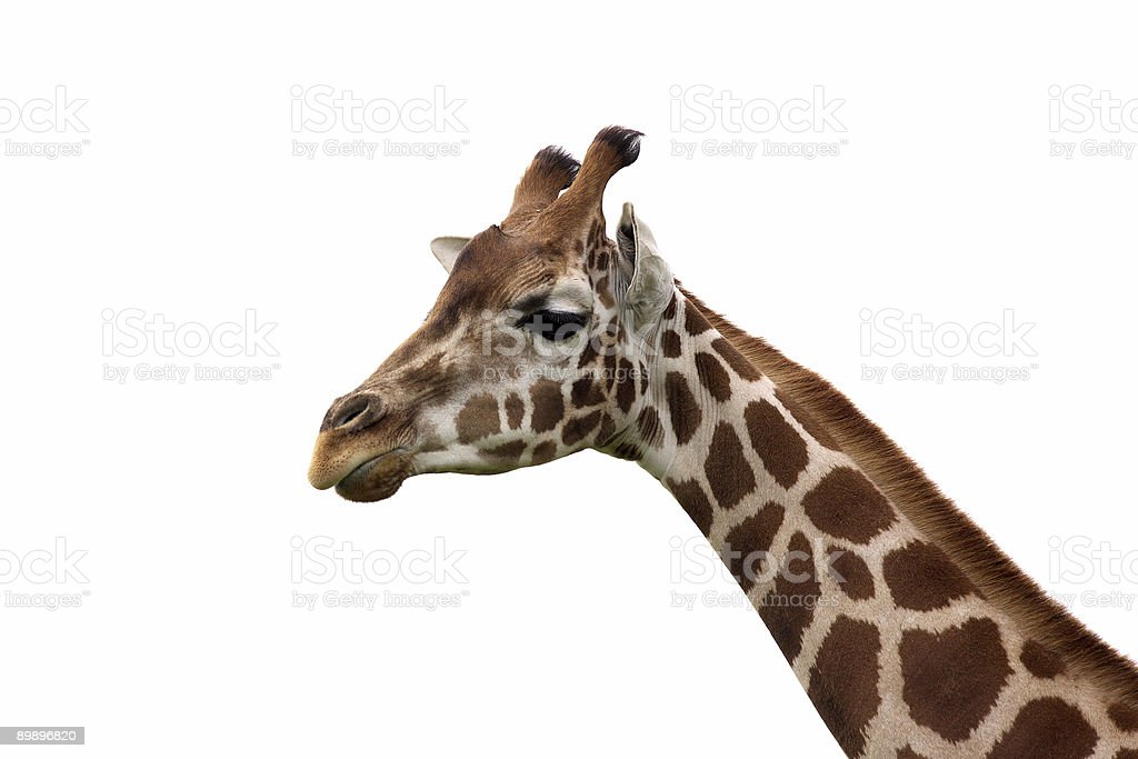 Giraffa foto stock royalty-free