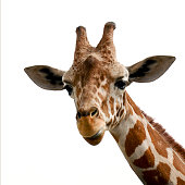 Giraffe portrait with white background