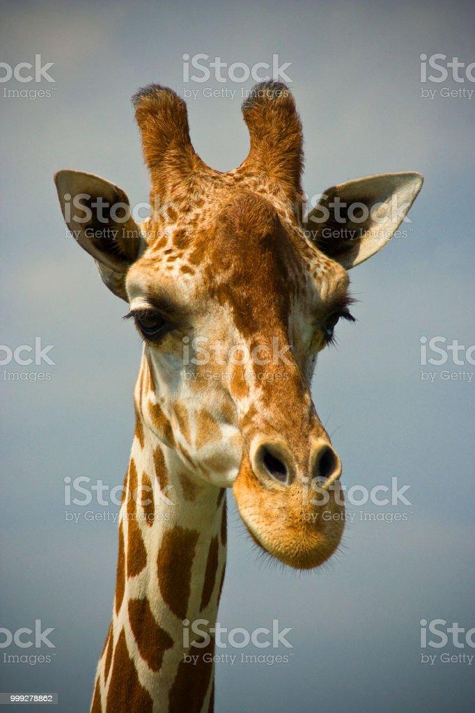 Giraffe (Portrait) stock photo