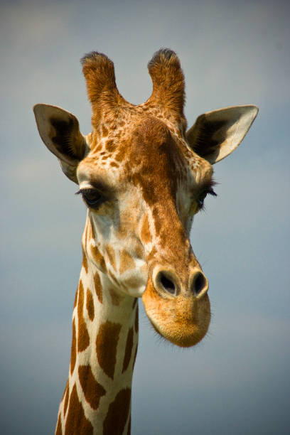 Giraffe (Portrait) stock photo